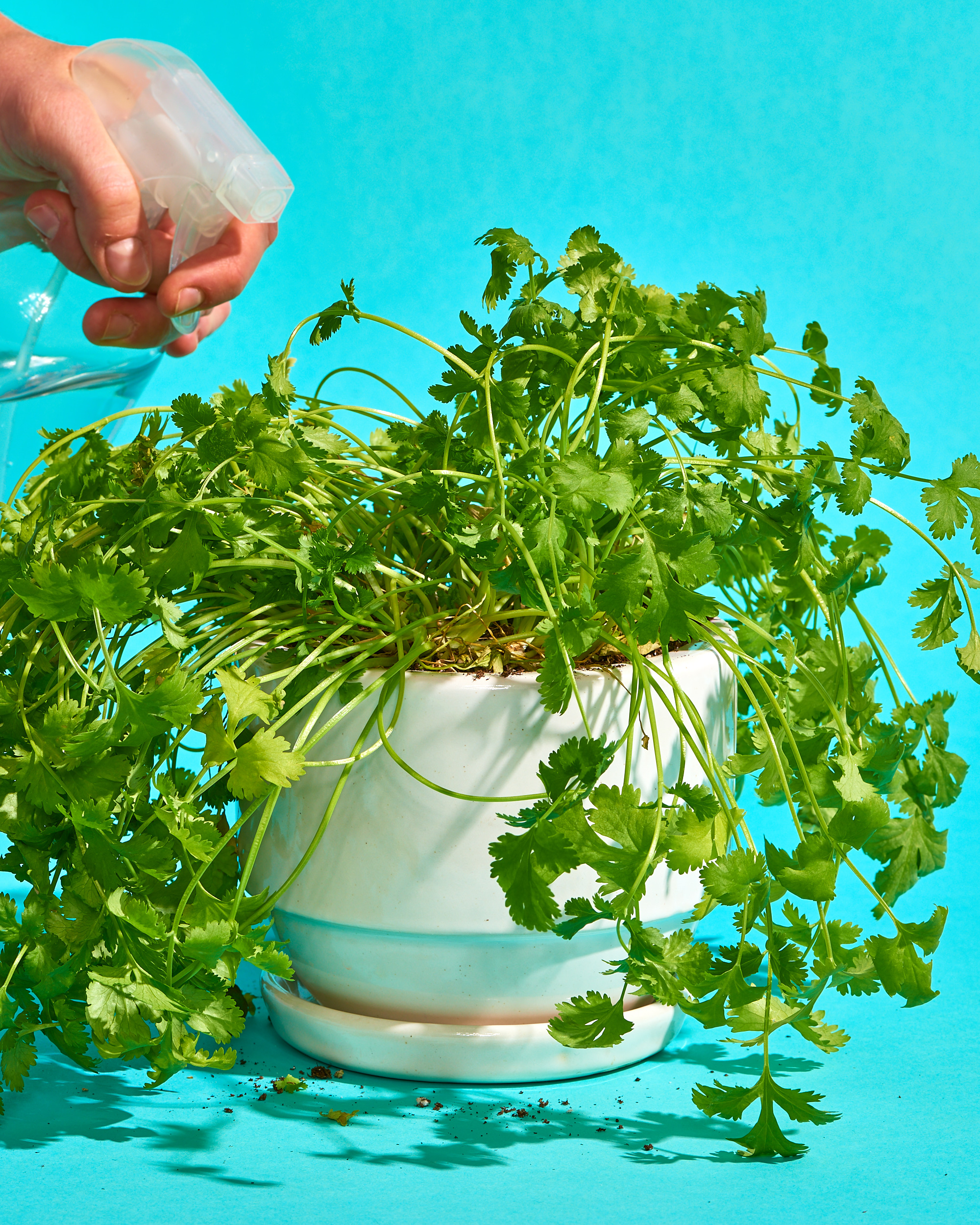 How To Grow Cilantro Plants Apartment Therapy