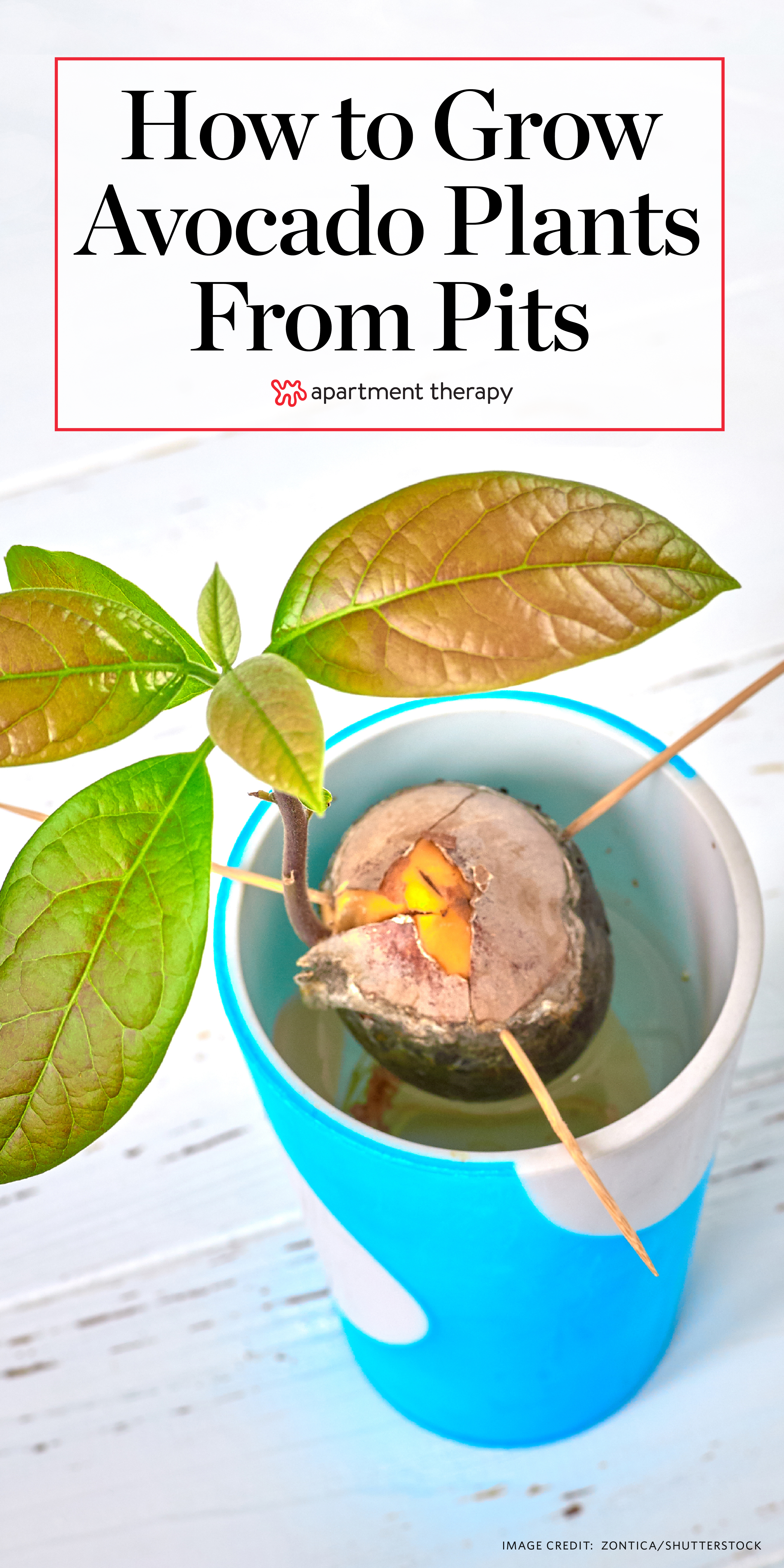 How To Grow Avocado Plants From Pits Apartment Therapy