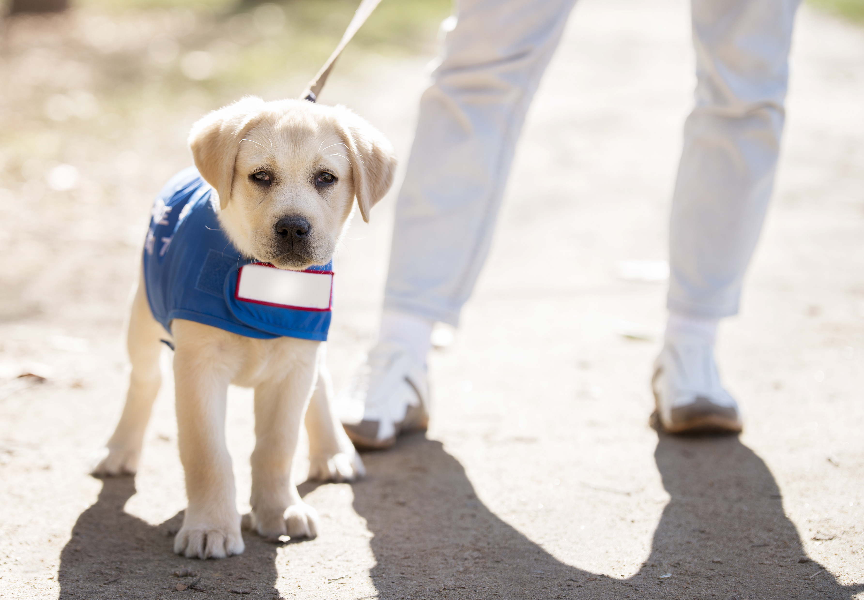 Adopt Failed Guide Dog Training Puppies Apartment Therapy