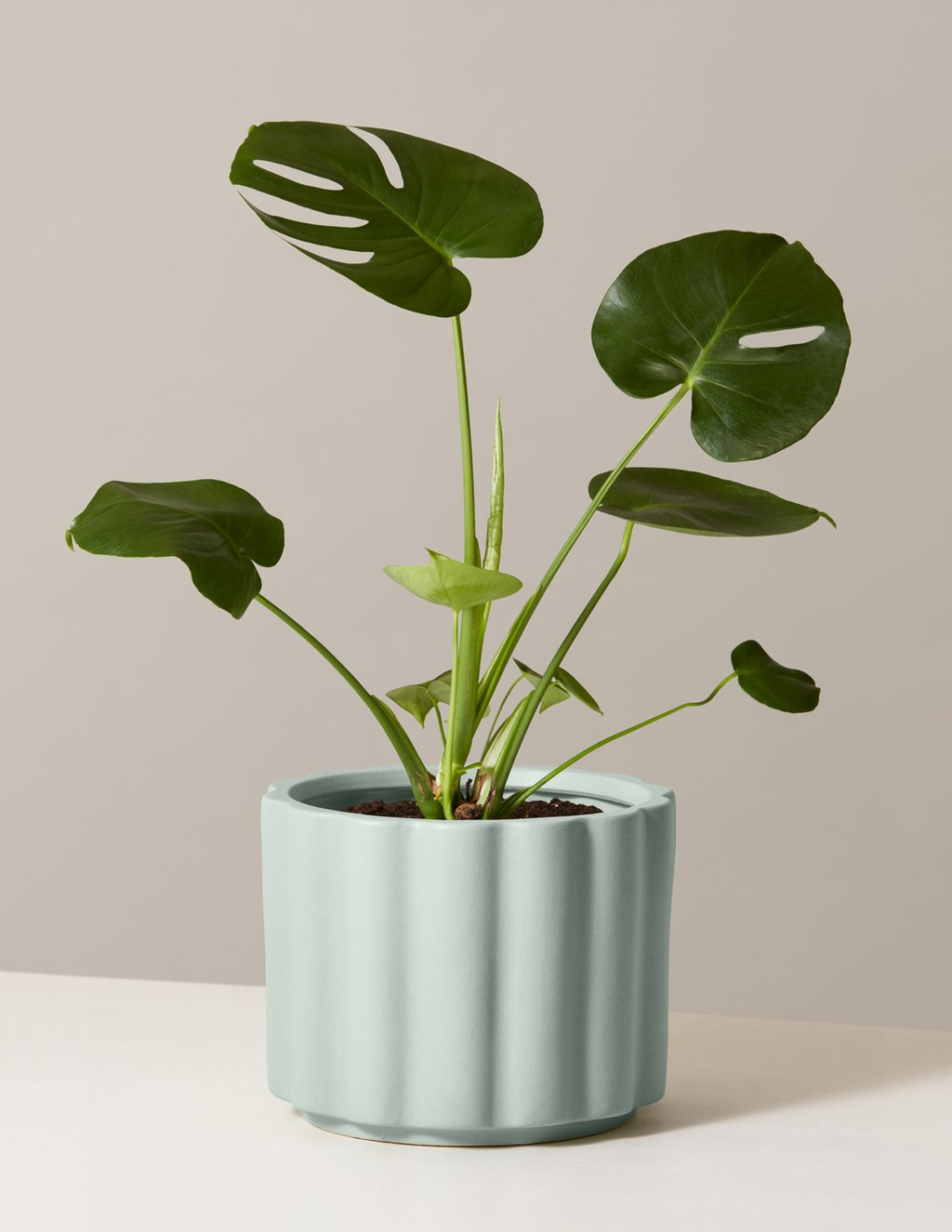 Big Leaf Houseplants To Plant Indoors Apartment Therapy
