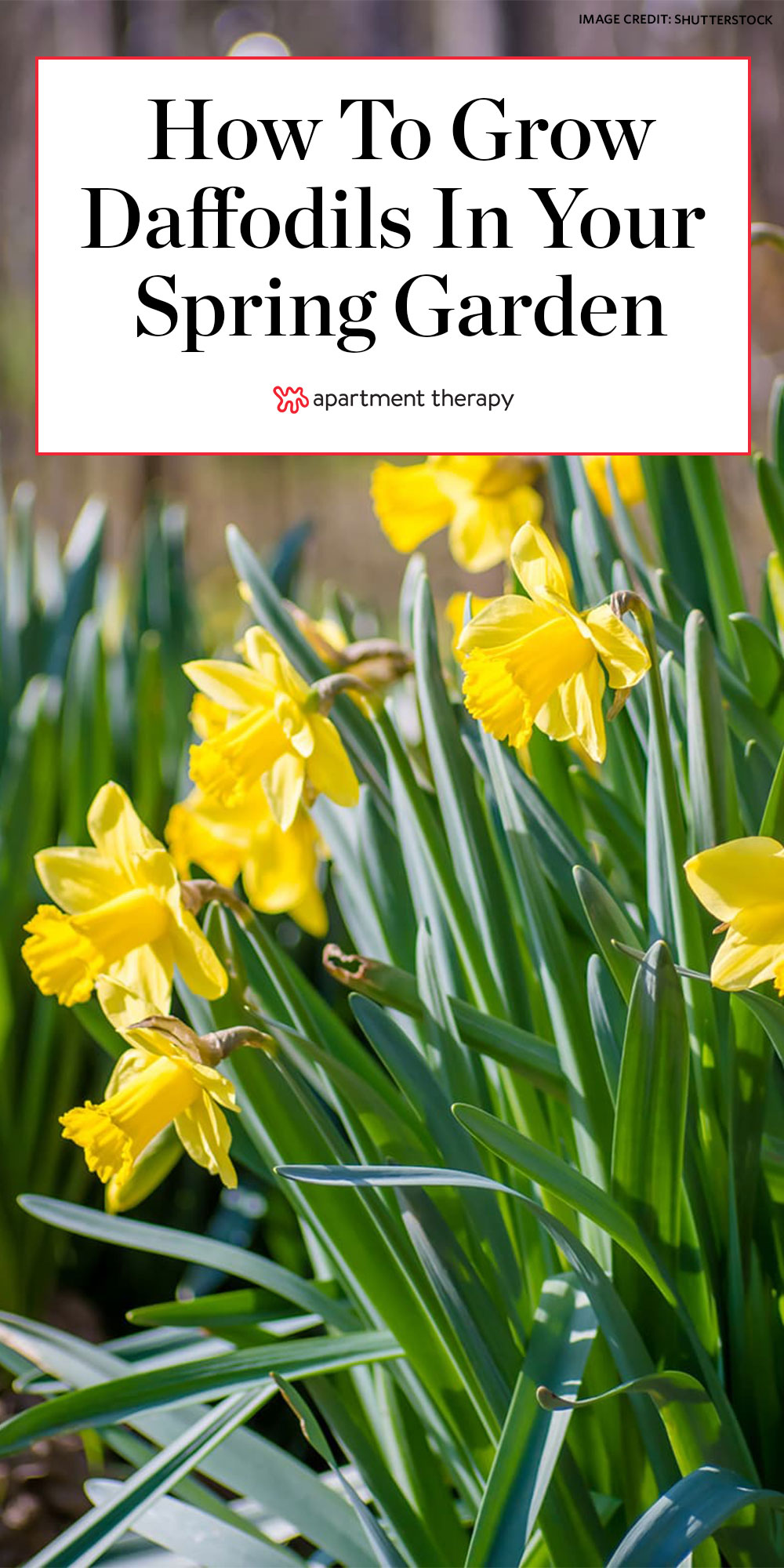 How To Grow Daffodils Apartment Therapy