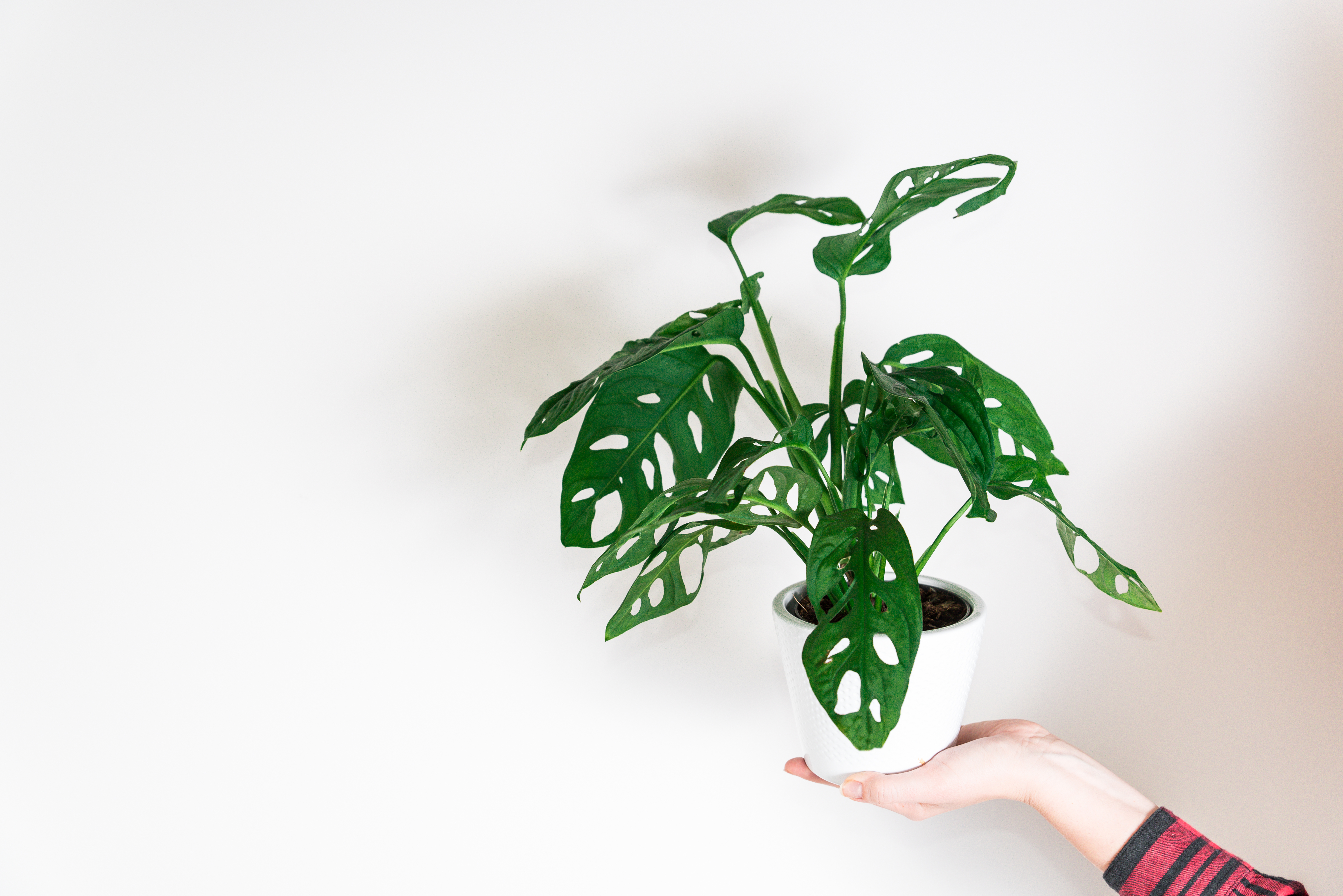 Monstera Adansonii Care How To Grow Maintain Swiss Cheese Vine Apartment Therapy