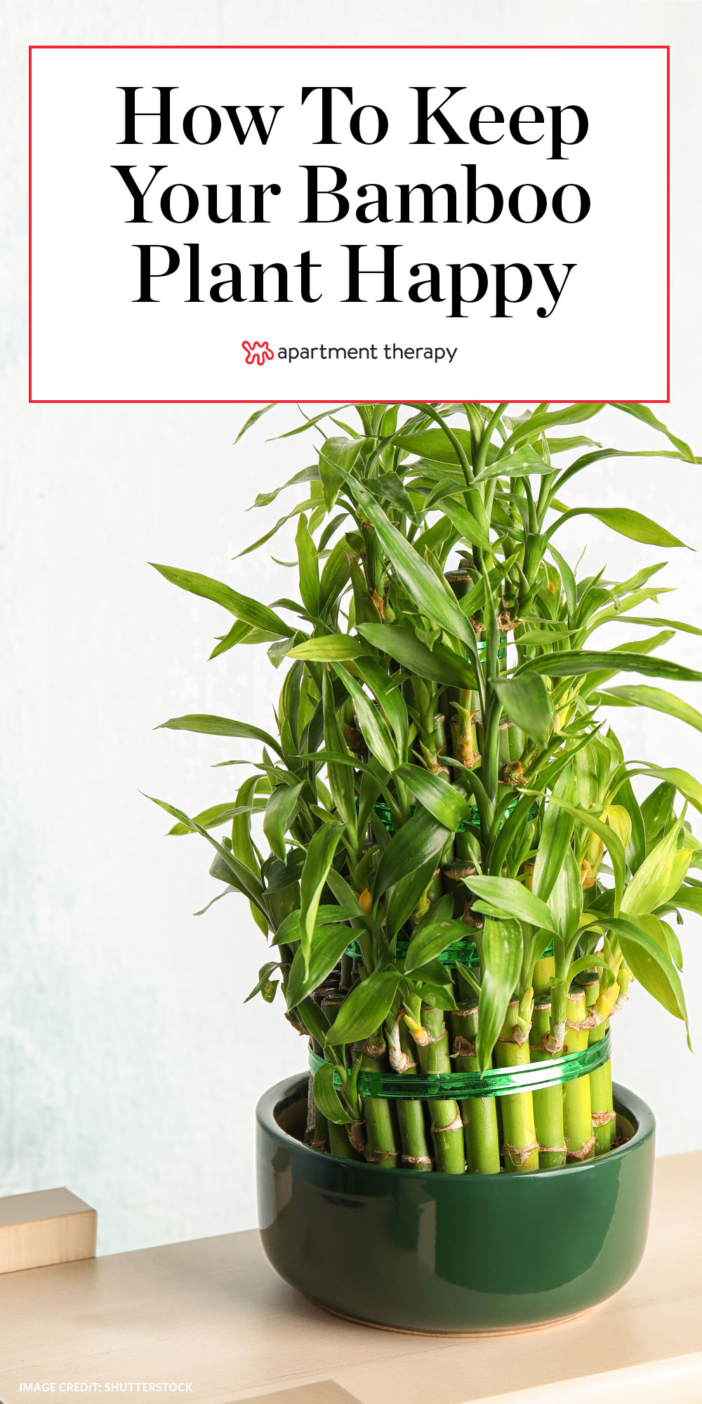 Bamboo Plant Care How To Grow Maintain Bamboo Plants Apartment Therapy