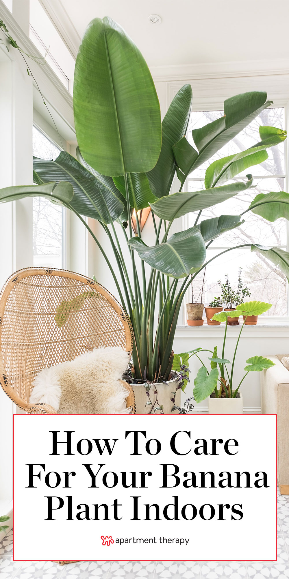Bird Of Paradise Plant Care How To Grow Maintain Birds Of Paradise Apartment Therapy