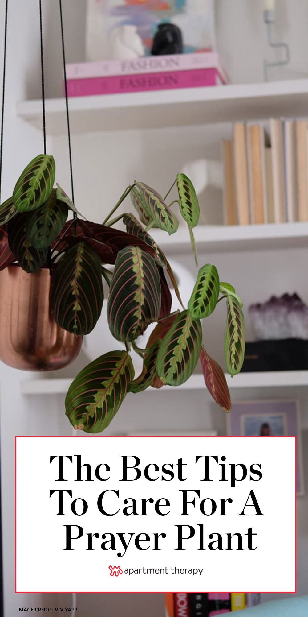 Prayer Plant Care How To Grow Maintain Marantas Apartment Therapy