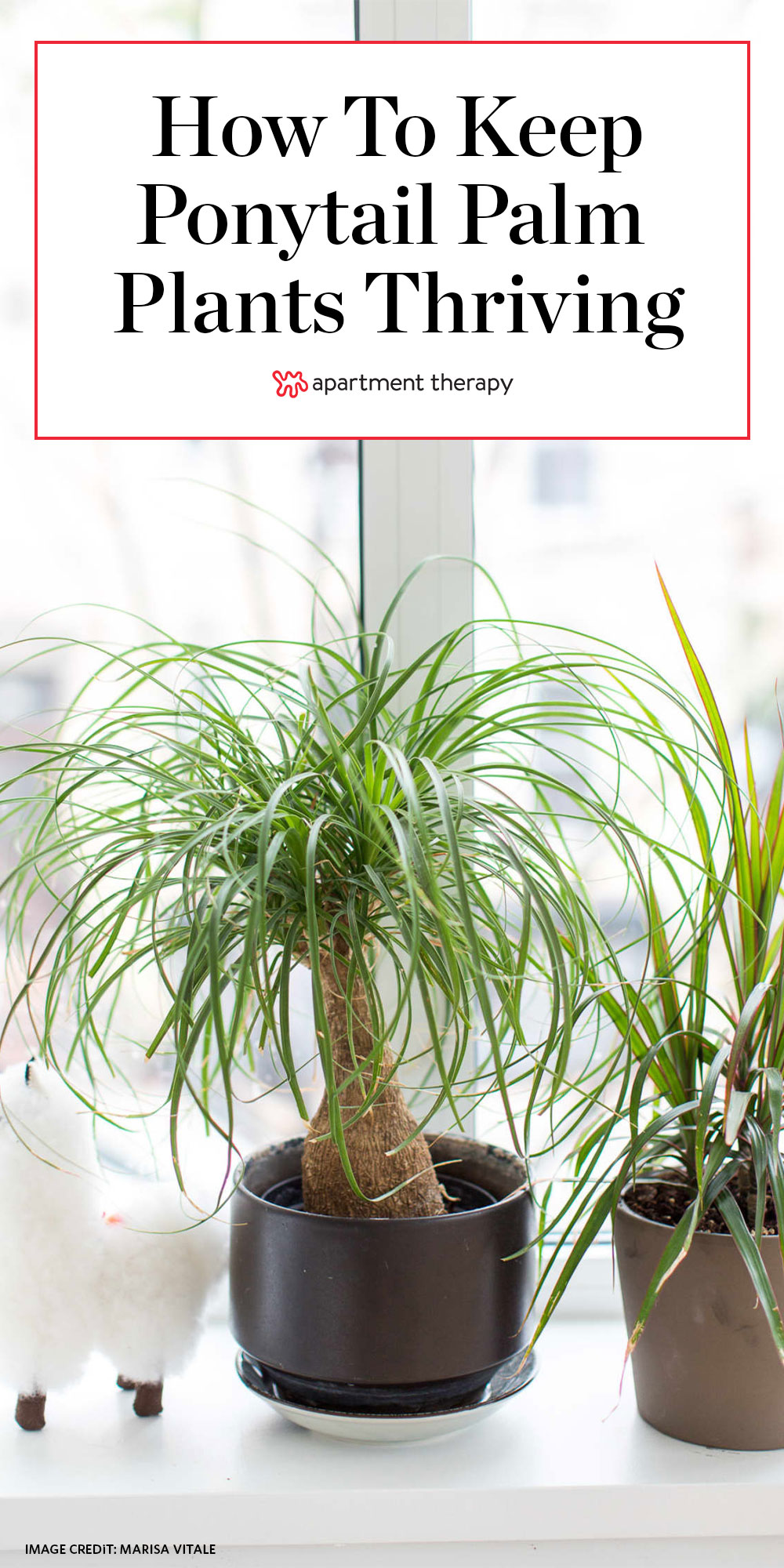 Ponytail Palm Tree Care How To Grow Maintain Ponytail Palm Tree Indoors Apartment Therapy