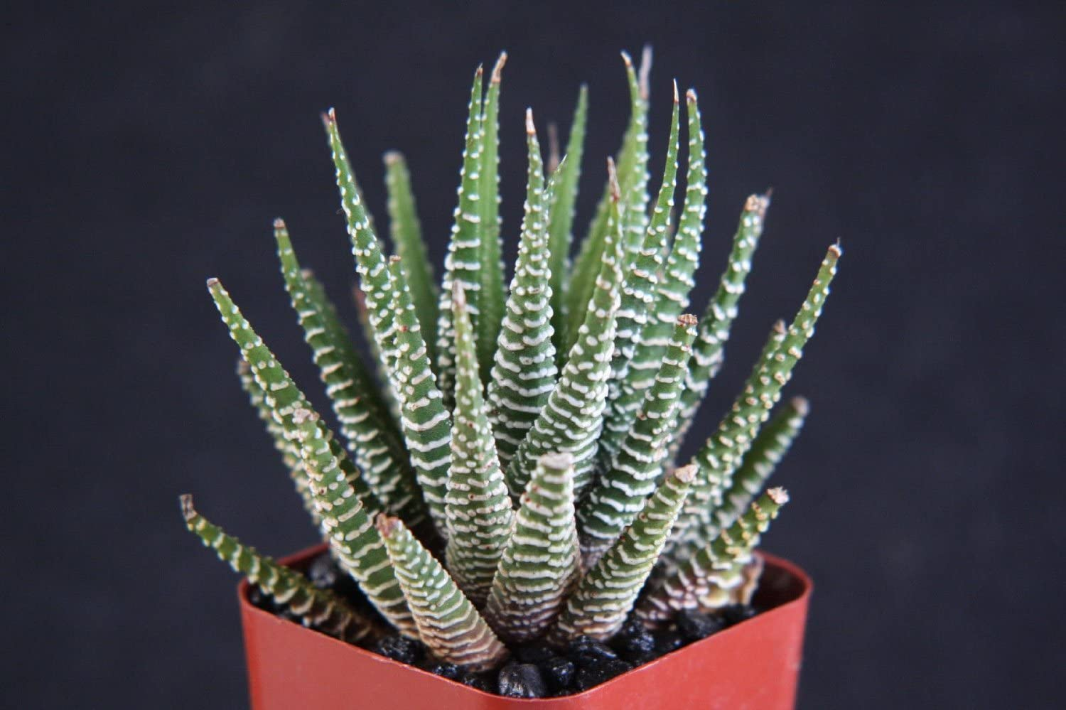 Haworthia Plant Care How To Grow Maintain Haworthia Plants Apartment Therapy