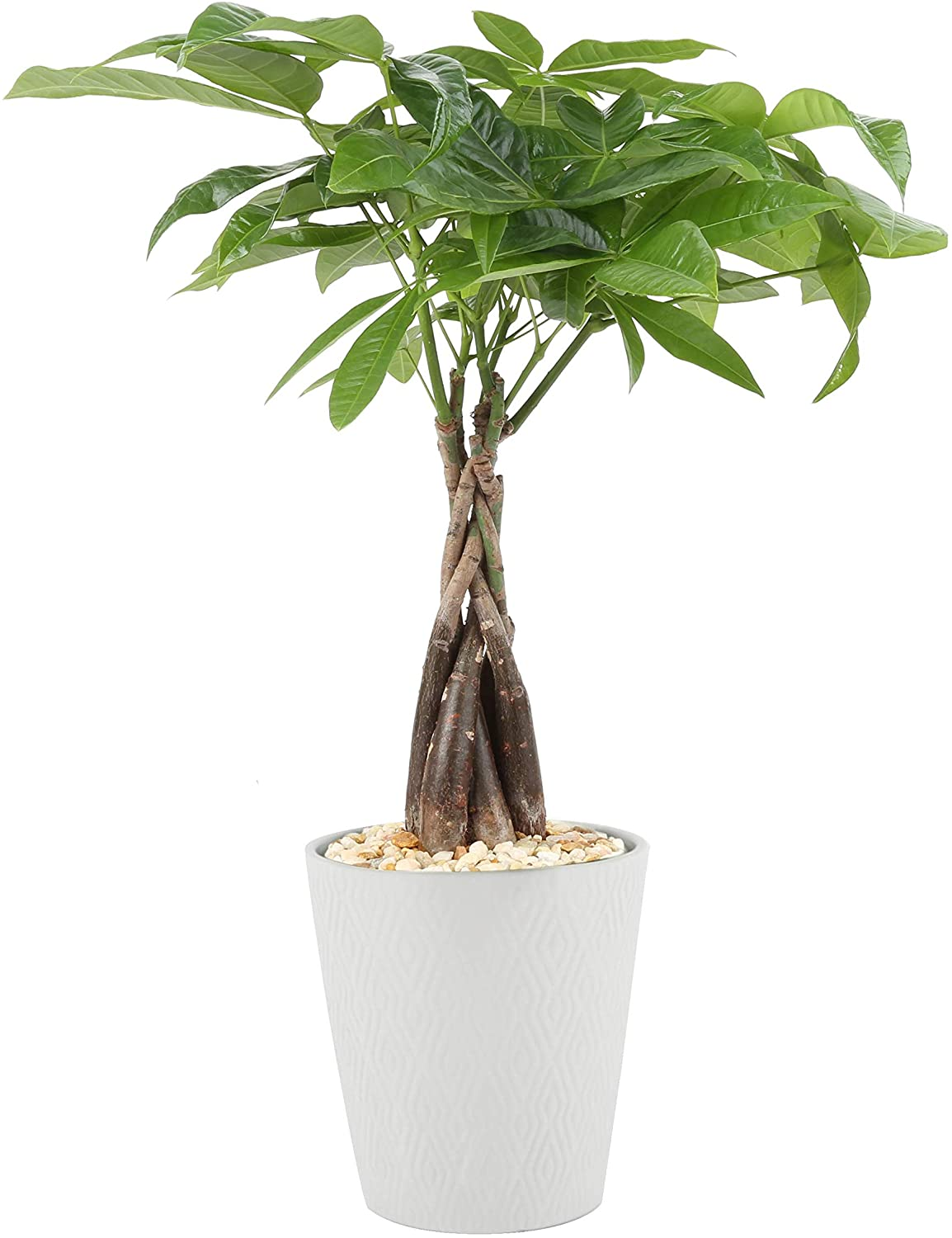 Money Tree Plant Care How To Grow Maintain Money Trees Apartment Therapy